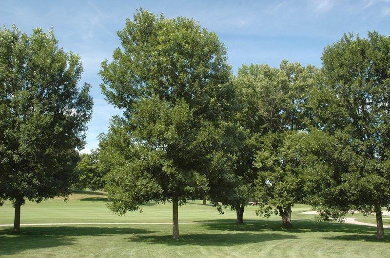 Emerald Ash Borer per Tree