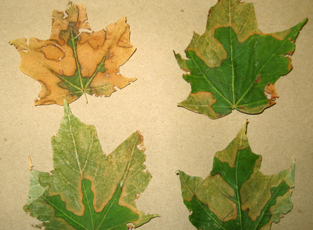 Bacterial Leaf Scorch - Could It Decimate our City Street Forests?