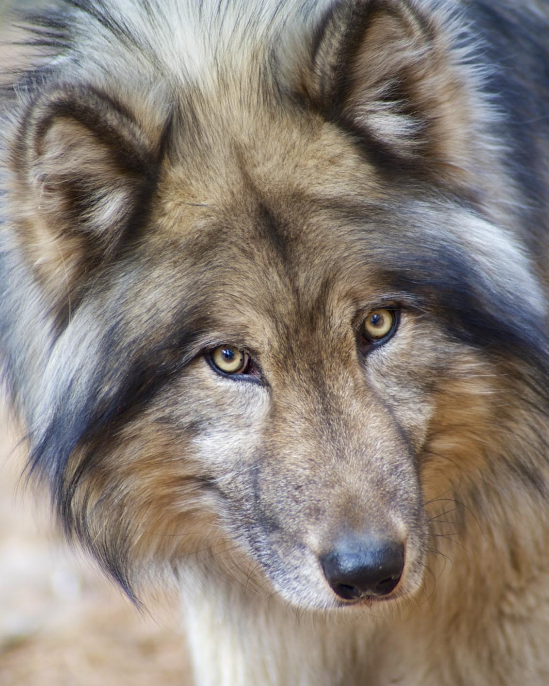 Colorado Wolf