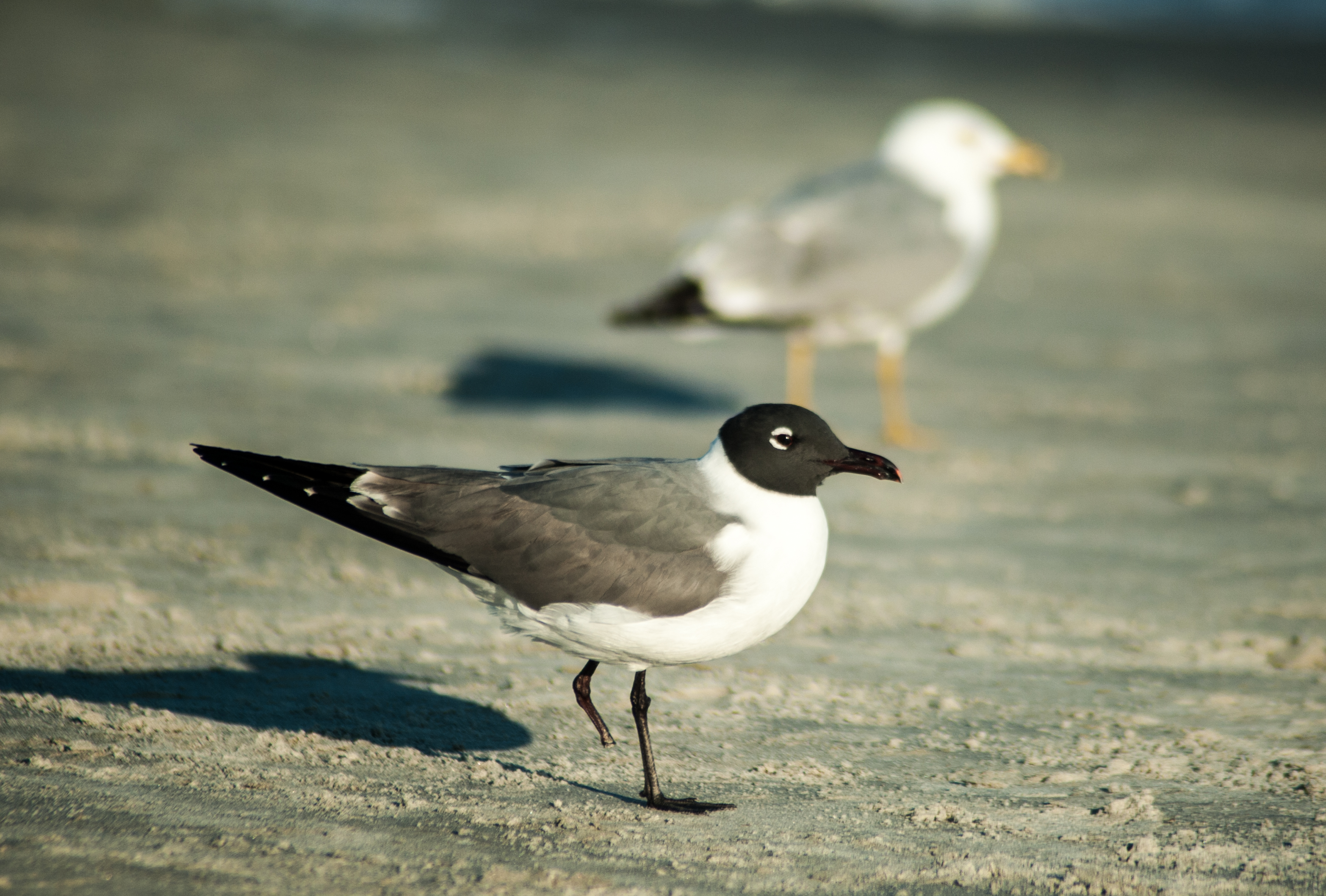 One-legged Black-headed Seagull