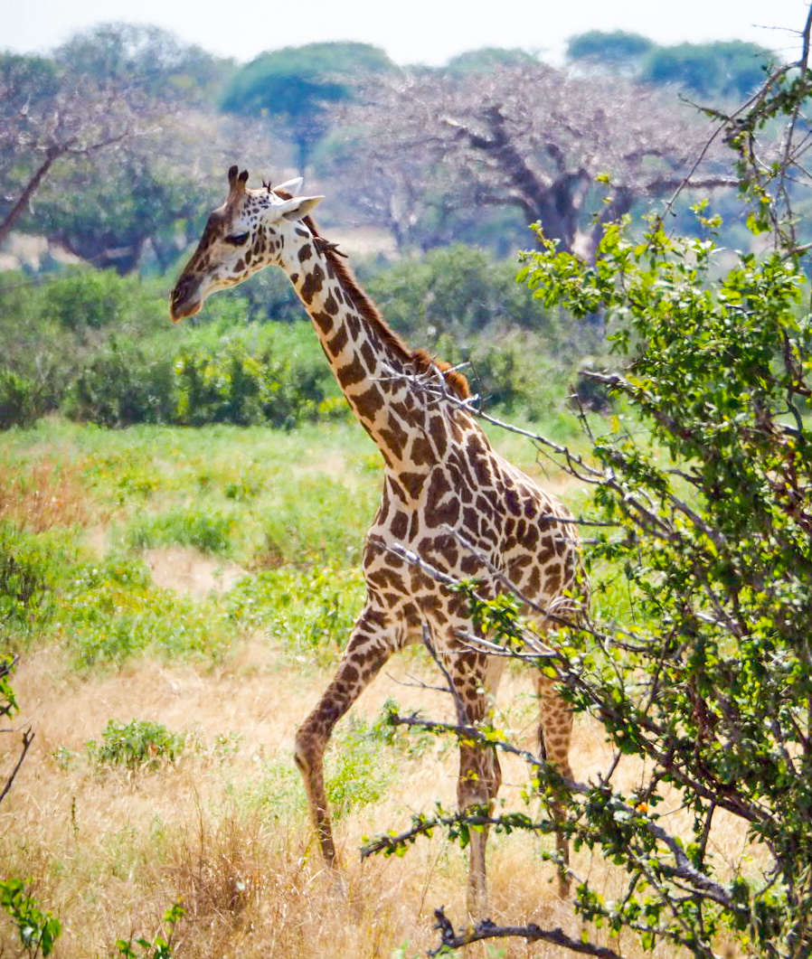 Juvenile giraffe on the move