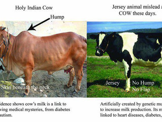 A2 Milk and the Zebu Cow