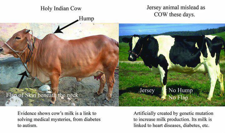 cow, miracle of.jpg