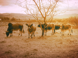 DWARF CATTLE OF INDIA BETTER FOR CLIMATE CHANGE