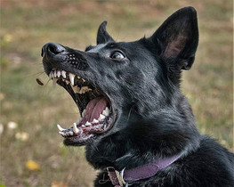 dogs Germa Sheppard