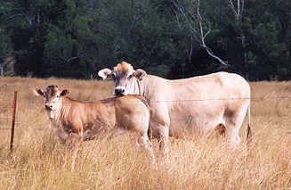Kerry Dawson's Cow & Calf.jpg