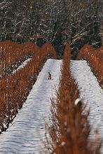 lapin dans les vignes