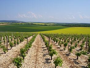 vignes et champs de colza