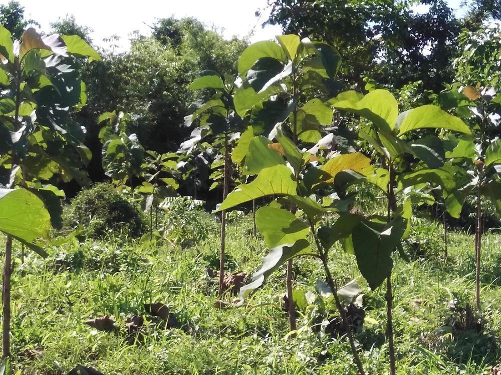 ミャンマーチーク オルタナティブ無垢フローリング 植林