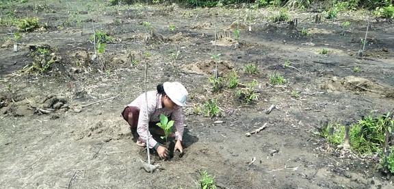 チーク植林作業1