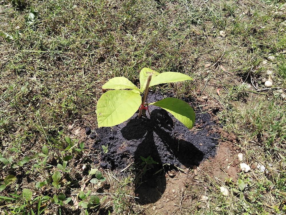 ミャンマーチーク 苗木 植林