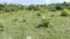 チーク植林5ヶ月後①