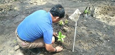 チーク苗木植林1