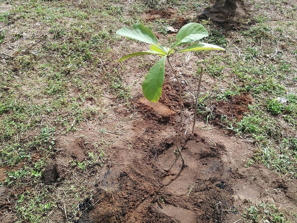 チーク苗木植林 1年ぐらいの苗木