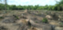 チーク植林地