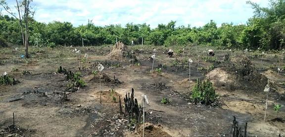 チーク苗木植林地