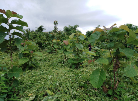 ミャンマーチーク苗木植林1年後