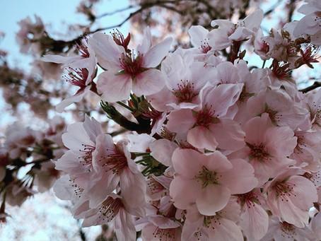 境内の桜(ソメイヨシノ)について