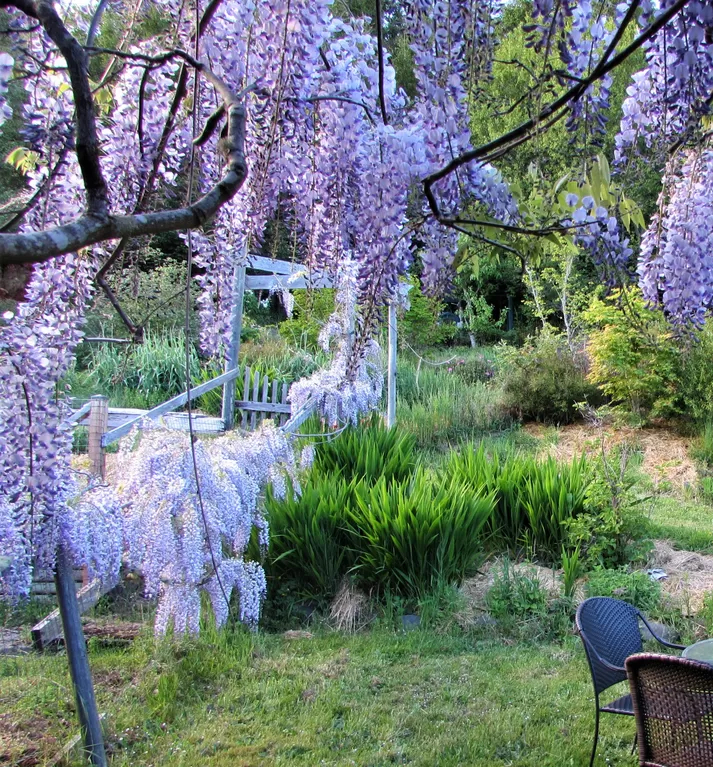 Wisteria in its glory