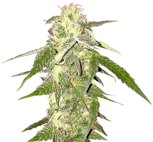 52-522067_cannabis-png-weed-plant-transp