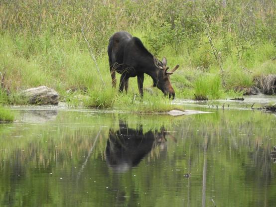 moose reflection.jpg