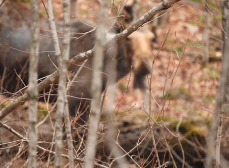 First Moose Tour of the Season