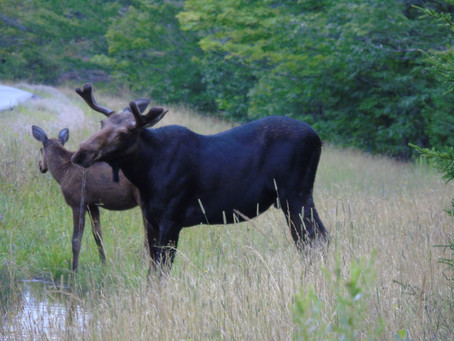 Moose Tours - In Moosehead Lake Area