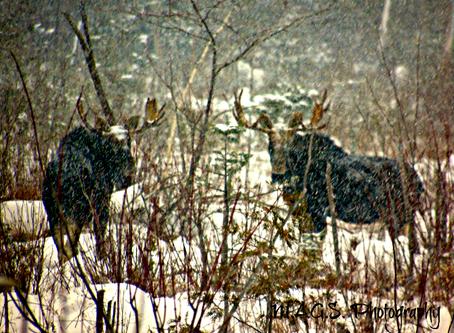 Sentimental, Snow, Moose, 2018 Journey