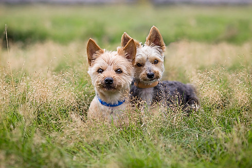 Yorkshire Terriers at Heysham Barrows