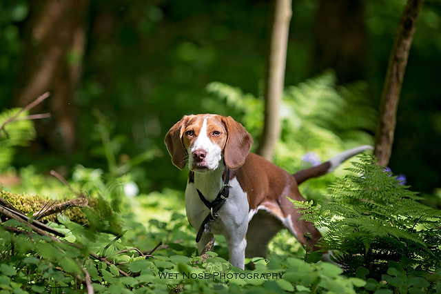 Beagle in Hyning Scout Wood