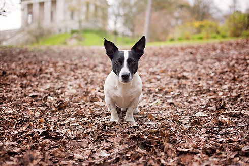 Jack Russell in Williamson Park, Lancaster