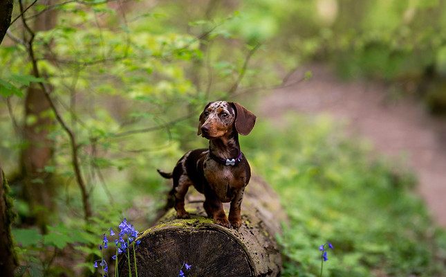 Miniature Dachshund at Hyning Scout Wood