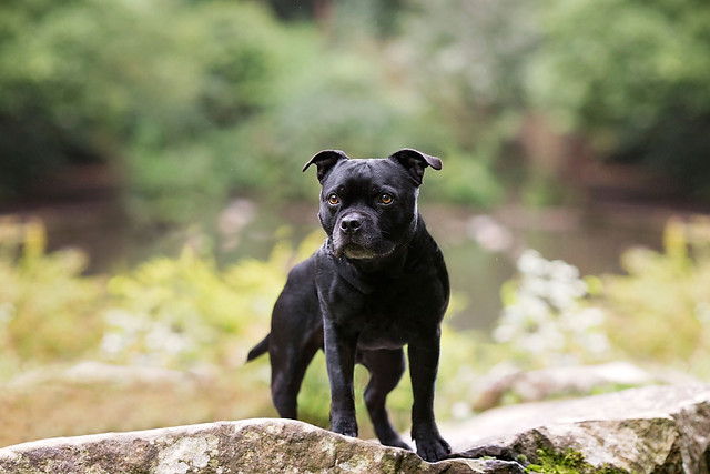 Staffordshire Bull Terrier in Williamson park, Lancaster