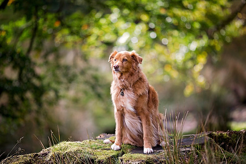 Nova Scotia Duck Tolling retriever Hyning Scout Wood