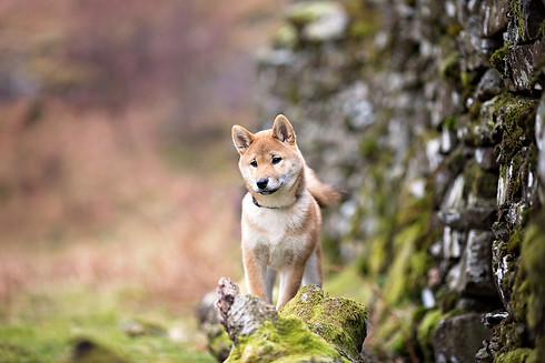 Shiba Inu in The Lake District