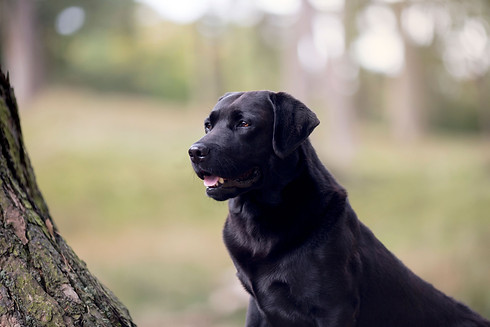Black Labrador at Hyning Scout Wood