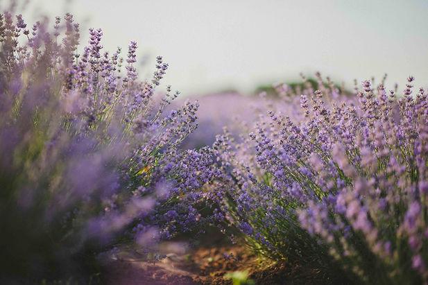 Image of lavendar field
