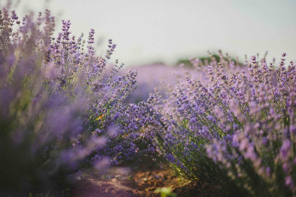 Image of a field of lavendar flowers