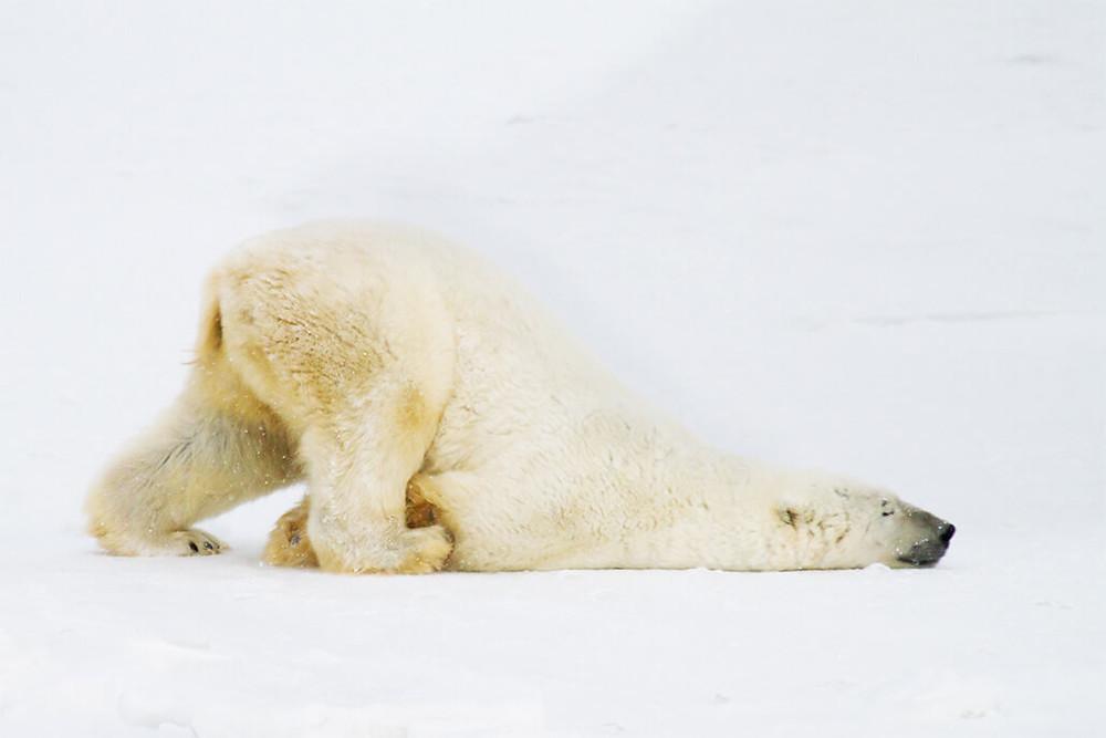 polar bear pushing himself on ice
