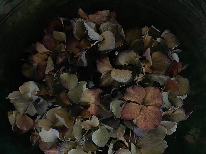 Hydranea.jpg