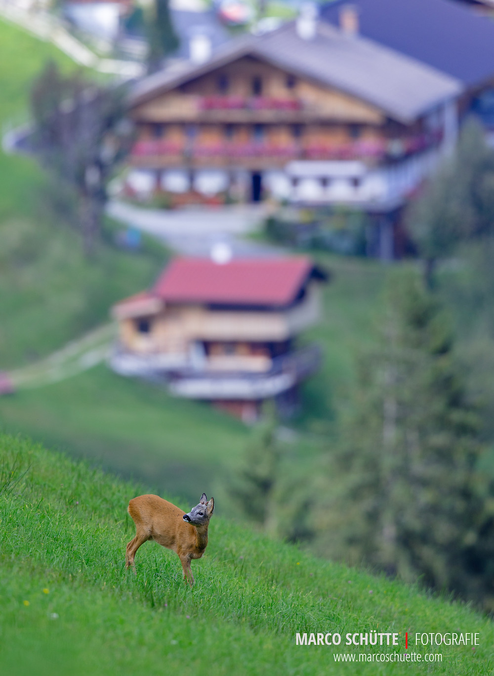 Der selbe Rehbock vor einem typischen Tiroler Bauernhof.