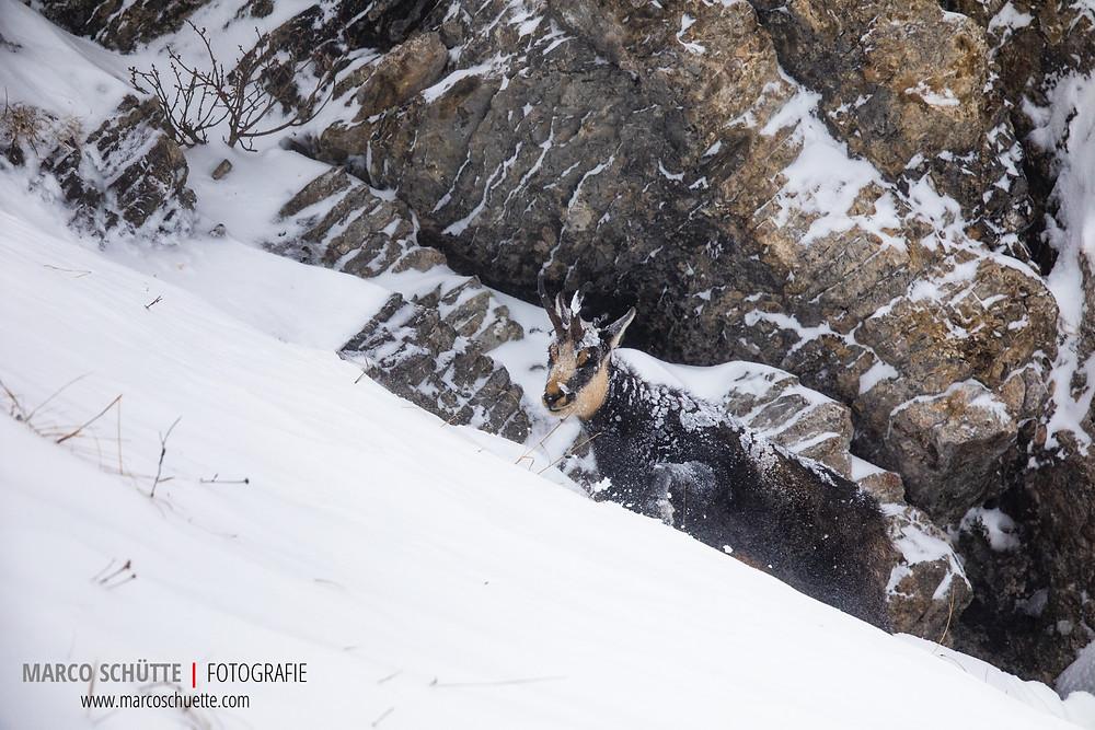 Ein Gamsbock versucht mit geschlossenen Augen dem Schneesturm zu trotzen