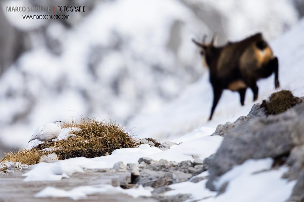 Begegnung zwischen einem Schneehuhn und einem Gamsbock
