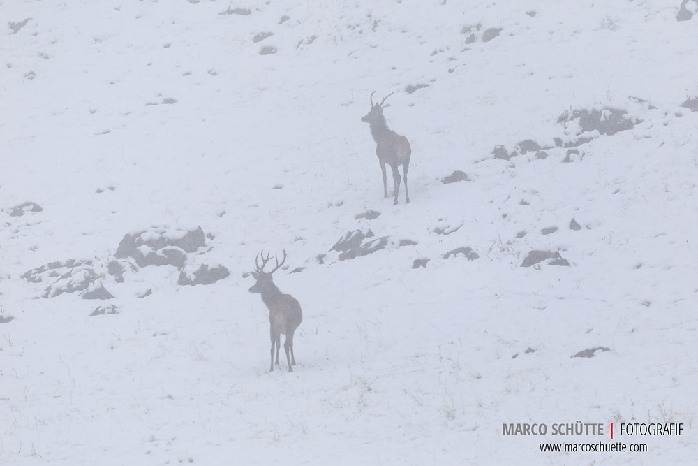 Dochbereits nach kurzer Zeit hören wir zwei Hirsche röhren und 2Jünglinge betreten im (noch) dichten Nebel denBrunftplatz.
