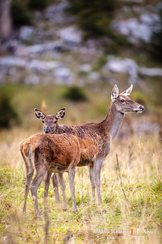 Alttier und Kalb kurz am Morgen. Die Hirsche waren leider längst eingezogen. Das Konzert halt allerdings noch bis ca. 10 Uhr durch die angrenzenden Wälder und Schluchten der Wasseralm.