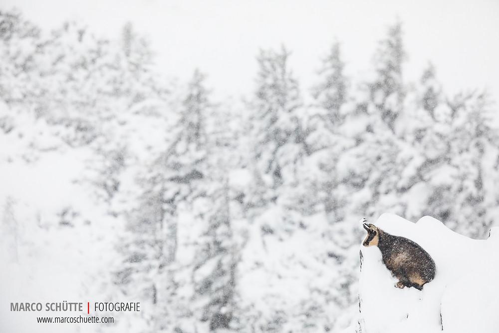 Ruhender Gamsbock vor winterlichem Bergwald