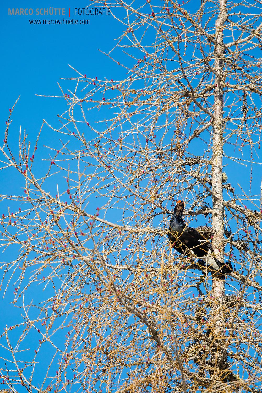 Birkhähne balzen nicht nur am Boden, sondern gerne auch auf den am Balzplatz angrenzenden Bäumen. Schon von weitem ist der typische Balzgesang zu hören, auch Kullern und Zischen genannt.