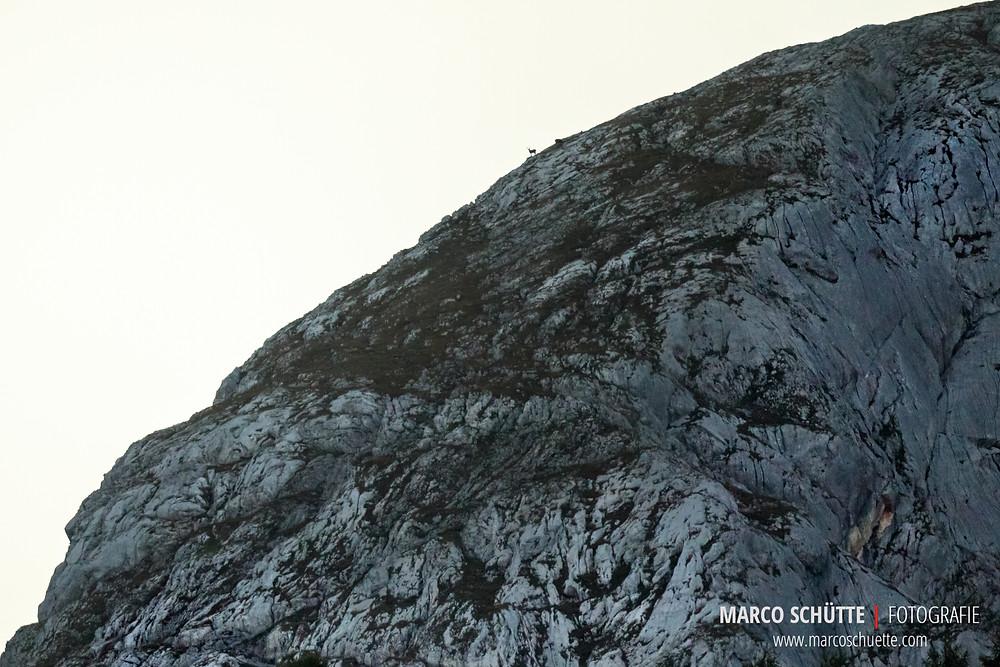Ein weiterer Steinbock zeigt sich nach Sonnenuntergang am Westhang des großen Teufelshorn.