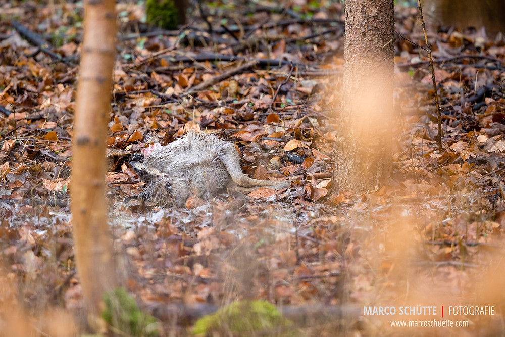 Ein verendetes Bockkitz. Das Kitz wie keine Spuren von Hundebissen auf. Das Foto ist 3 Tage nach dem Fund entstanden. Beutegreifer wie Fuchs, Marder, Krähe, Bussard und Co erfreuen sich am frischen Fleisch. Bereits am nächsten Tag war das Kitz komplett verspeist.