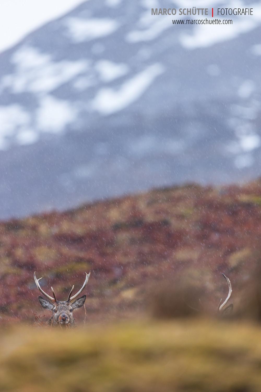 Zwei junge Rothirsche in den schottischen Highlands.